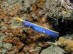 Blue Ribbon Eel - GAL Photo