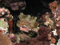 Leaf Scorpion Fish - MZ Photo