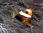 Anemone Fish - MZ Photo