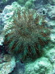 Crown of Thorns Starfish - MZ Photo