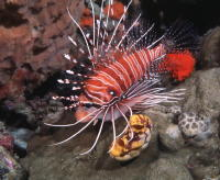 Lion Fish - GAL Photo